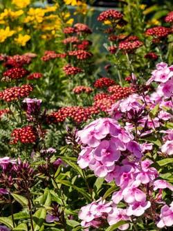 Bienen-Schmetterlingsstauden